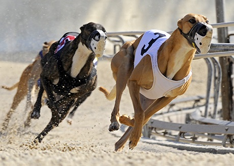 Do you know at what age can greyhounds start racing?